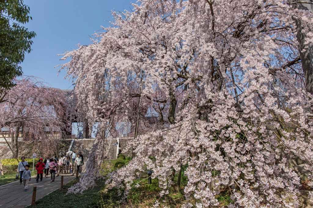 満開になった東郷寺の枝垂桜_f0044056_9373979.jpg