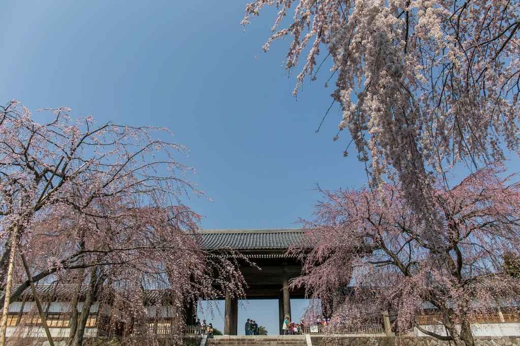 満開になった東郷寺の枝垂桜_f0044056_9385719.jpg