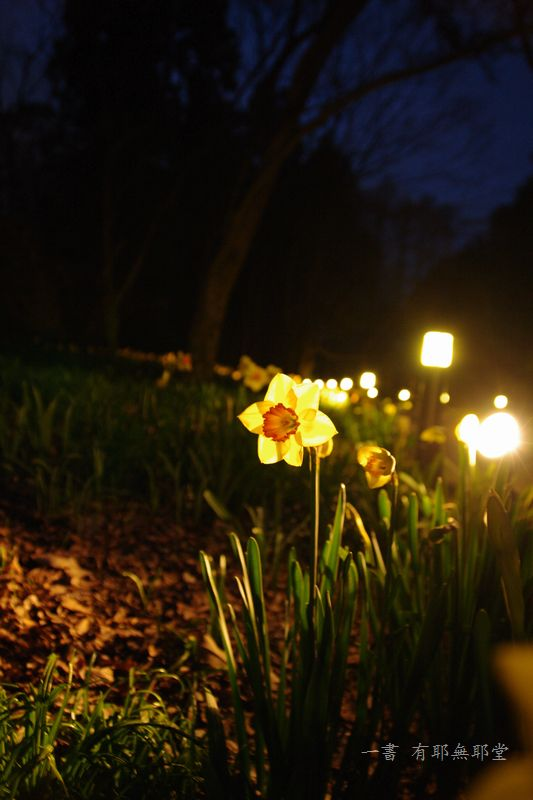 京都府立植物園 2014夜桜_a0157263_22312911.jpg