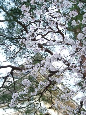 2014年 お花見!!_f0203164_11345713.jpg