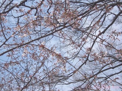 賀茂川の桜 2014年3月29日_a0164068_14545450.jpg