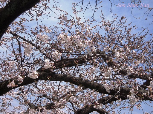 賀茂川の桜 2014年3月29日_a0164068_14554044.jpg