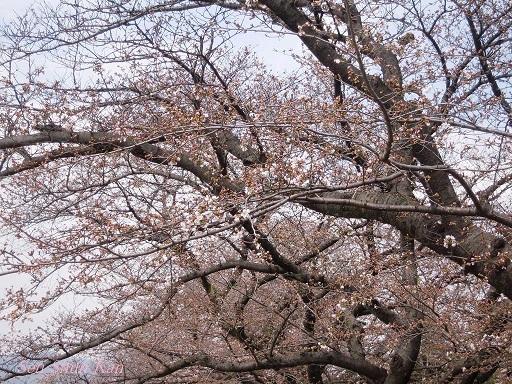 賀茂川の桜 2014年3月29日_a0164068_14574391.jpg