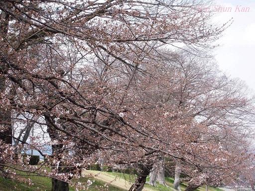 賀茂川の桜 2014年3月29日_a0164068_14583711.jpg