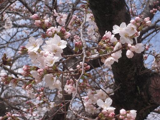 賀茂川の桜 2014年3月29日_a0164068_14583751.jpg