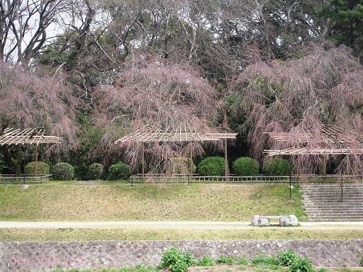 賀茂川の桜 2014年3月29日_a0164068_14583770.jpg