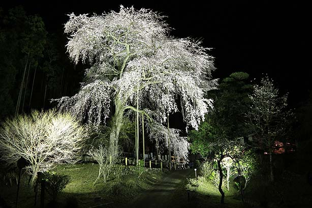 龍祥寺のしだれ桜_b0186680_1331361.jpg