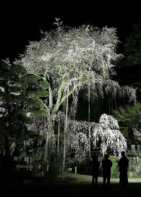 龍祥寺のしだれ桜_b0186680_13314059.jpg