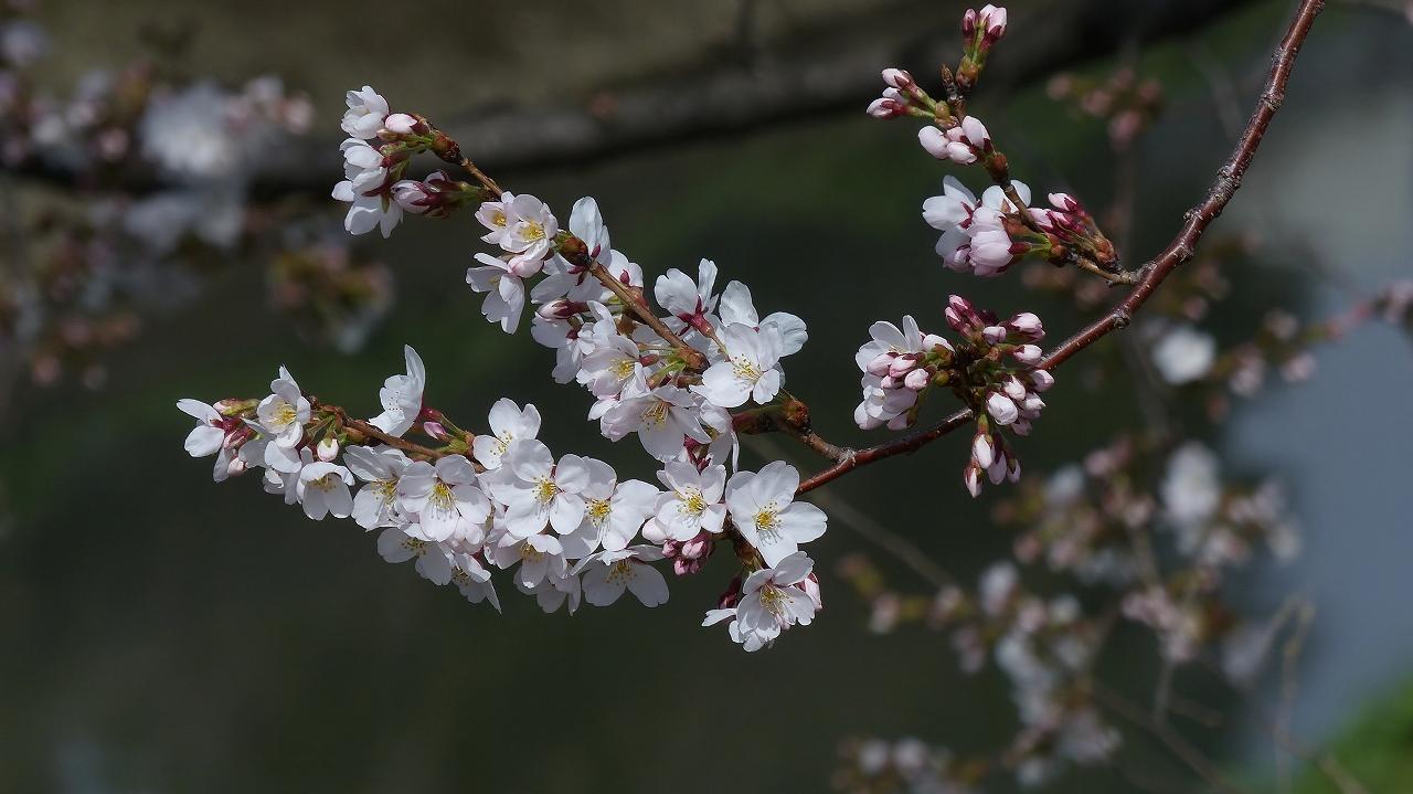 【 日記 2014 3/29(土) 】 ちょこっと花見_a0185081_1516084.jpg