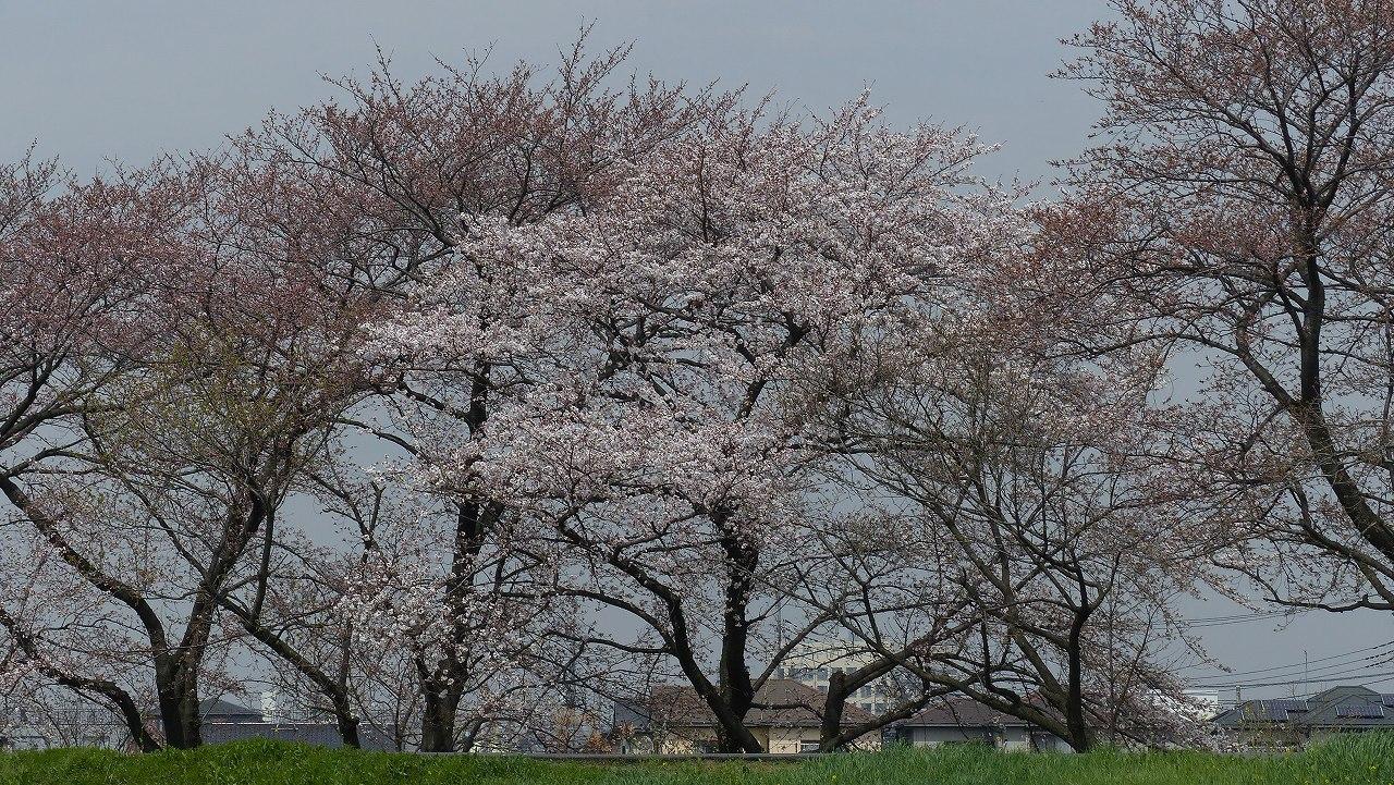【 日記 2014 3/29(土) 】 ちょこっと花見_a0185081_1521987.jpg