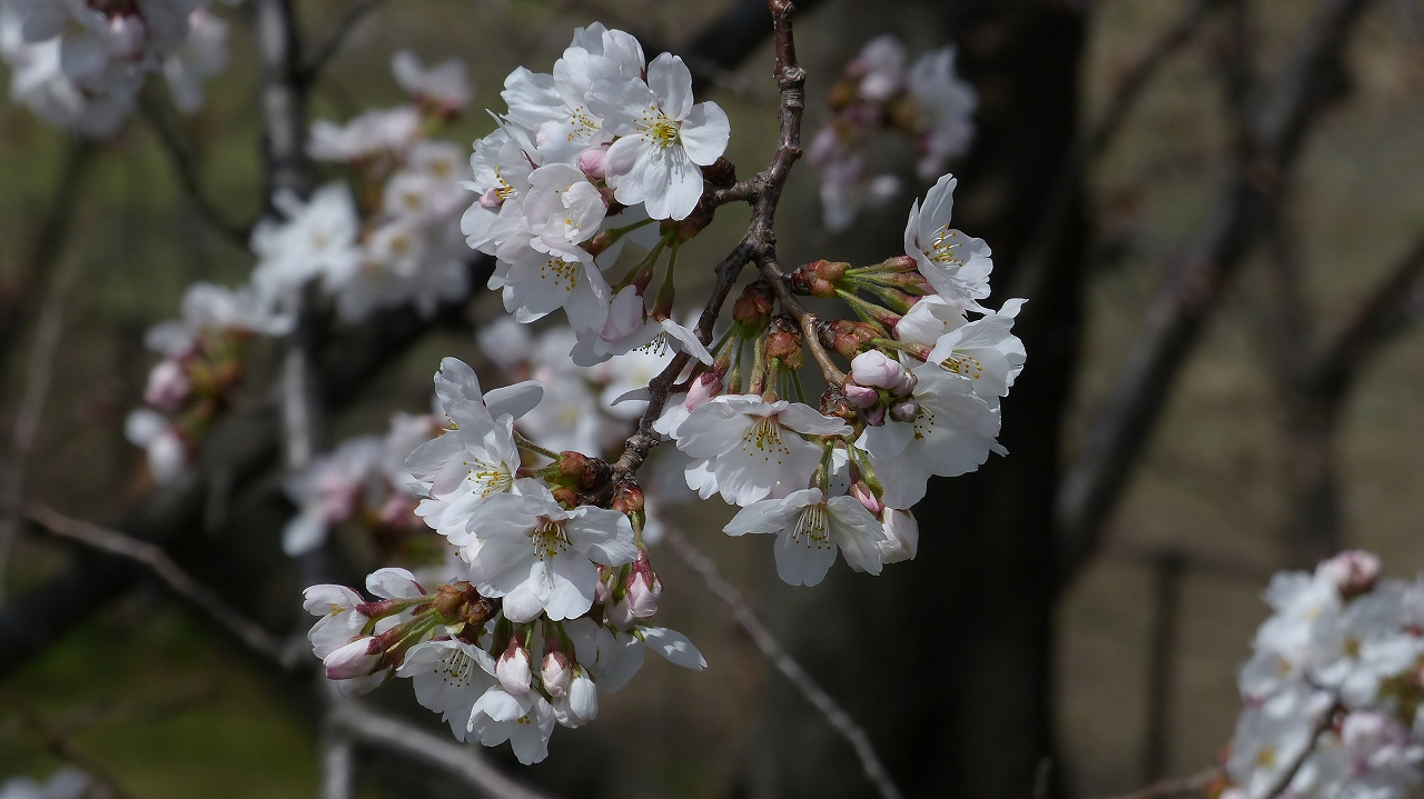 【 日記 2014 3/29(土) 】 ちょこっと花見_a0185081_1564014.jpg