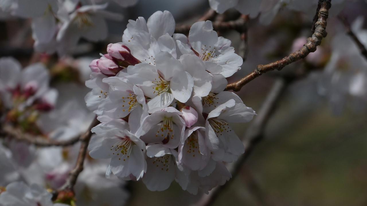 【 日記 2014 3/29(土) 】 ちょこっと花見_a0185081_1565222.jpg