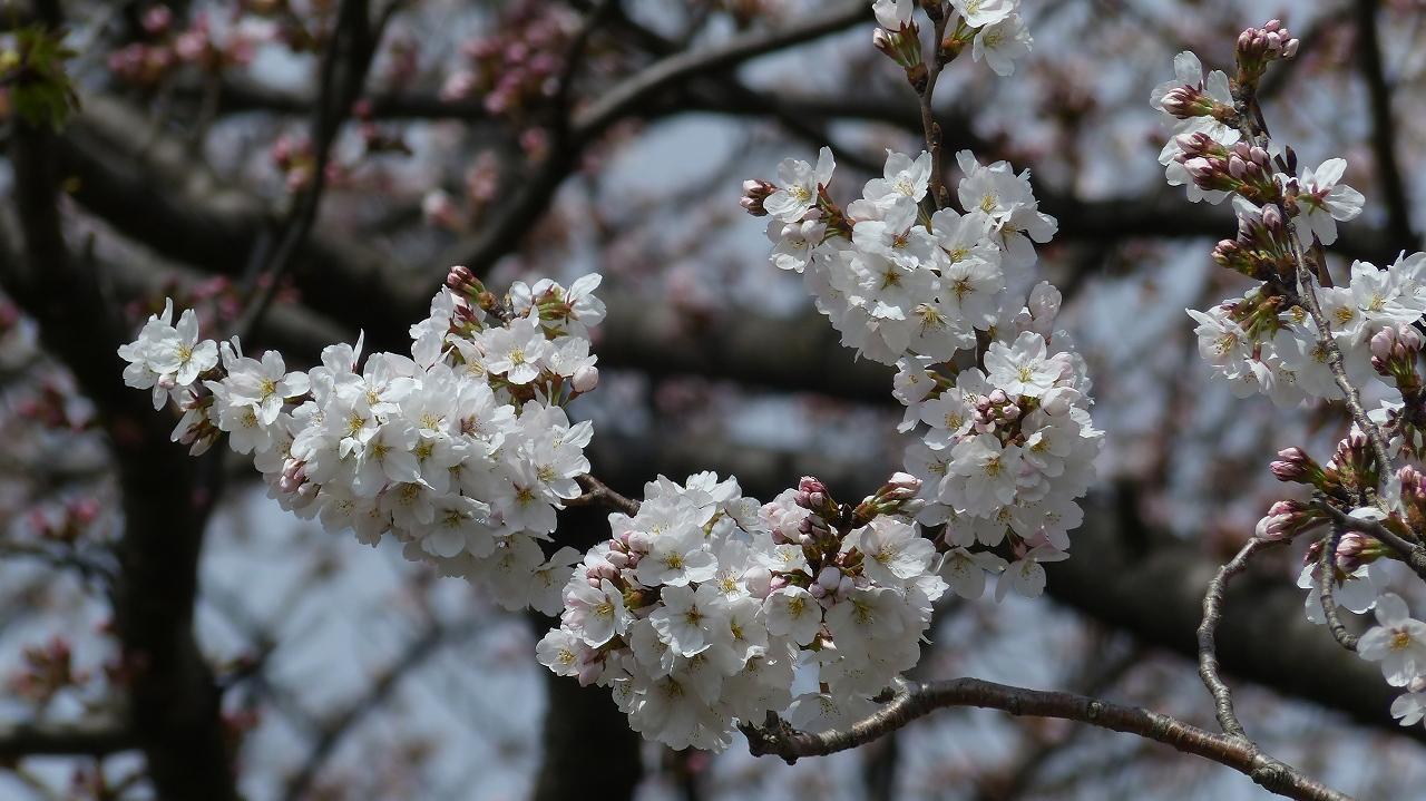 【 日記 2014 3/29(土) 】 ちょこっと花見_a0185081_157527.jpg