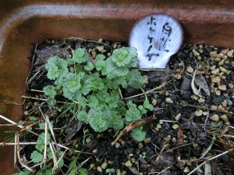 椎茸発生・クレマチスの芽など。_a0203003_15311821.jpg