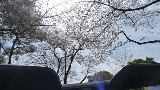 アルファから見る初桜  _a0129711_18211944.jpg