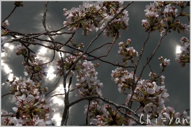 目黒川桜まつり_e0219011_13384381.jpg