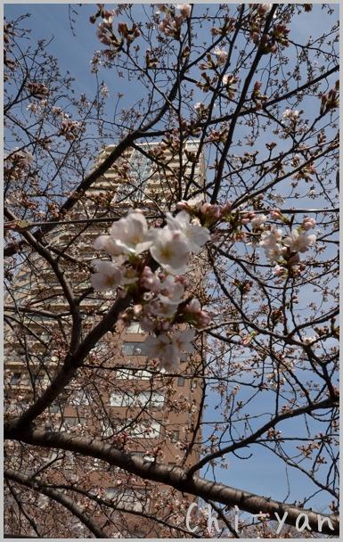 目黒川桜まつり_e0219011_13392758.jpg