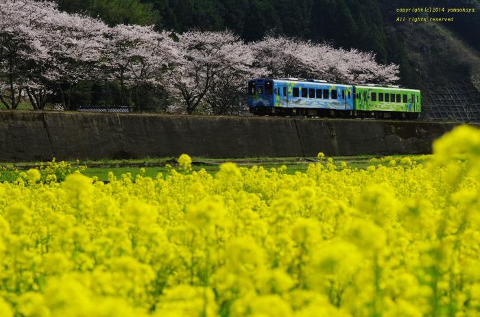 菜の花と桜と_d0309612_21444189.jpg