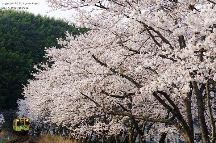 桜並木をかすめて_d0309612_2272871.jpg