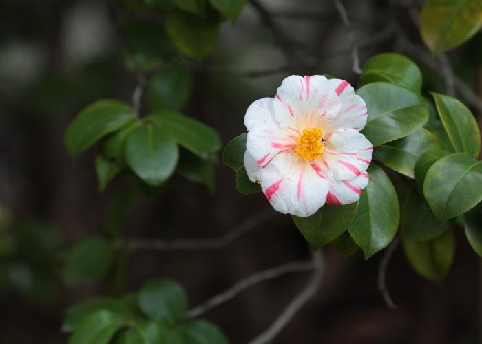 camellia._c0200027_18211167.jpg