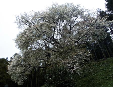 雨の糸島桜_f0315034_19535218.jpg