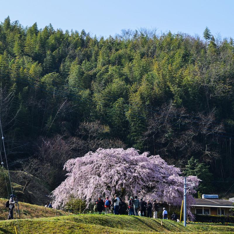 香川今年の桜 ② 堀池の枝垂桜 2014 0328 _d0246136_0283435.jpg