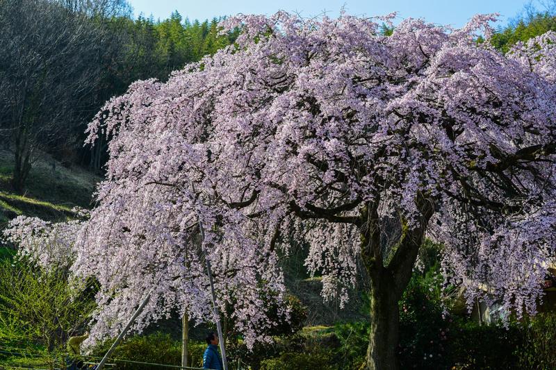 香川今年の桜 ② 堀池の枝垂桜 2014 0328 _d0246136_0291128.jpg