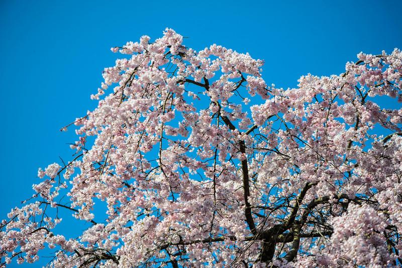 香川今年の桜 ② 堀池の枝垂桜 2014 0328 _d0246136_0293895.jpg