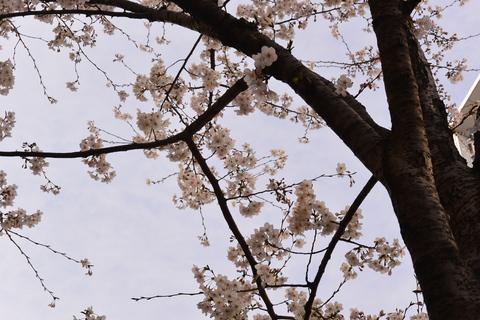 桜咲く、3月も最終日ですね。&3月31日(月)のランチメニュー_d0243849_010326.jpg