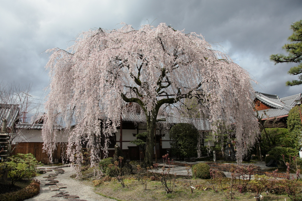 桜 2014   京都<本満寺>                  _f0021869_23532971.jpg