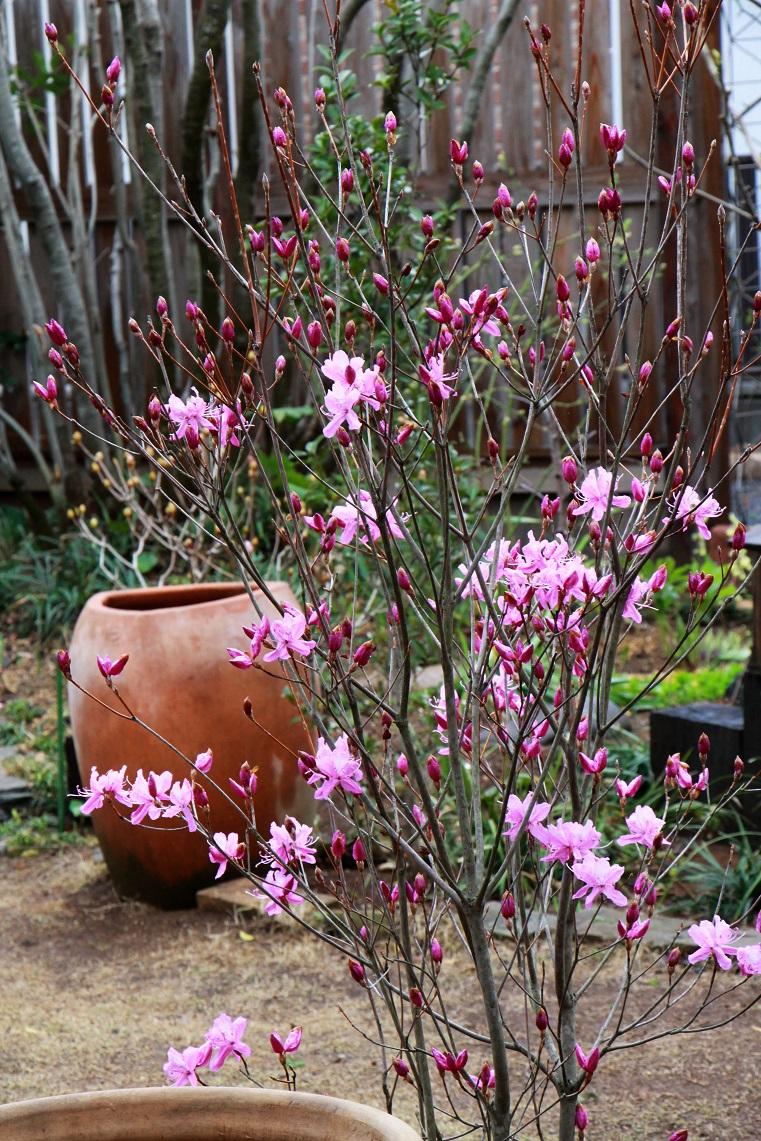一日一日花が開いて。。。    ~一人静・ミツバツツジ~_a0107574_16114890.jpg