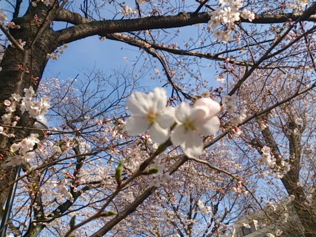 『桜』_a0075684_1712943.jpg