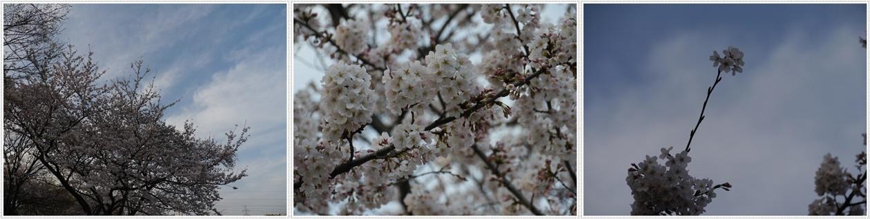 ♪♪さくら♪♪とお花見_b0175688_21471771.jpg