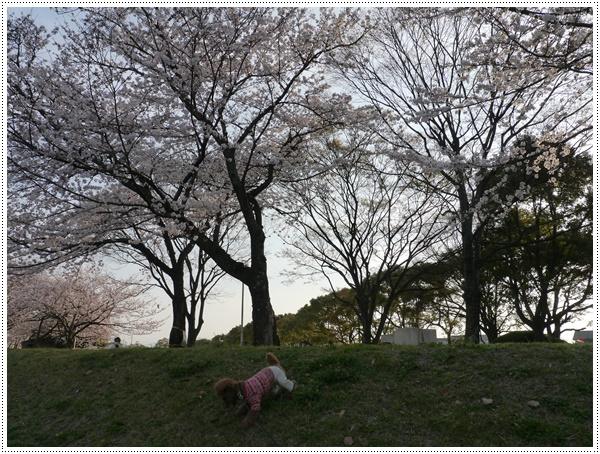 ♪♪さくら♪♪とお花見_b0175688_21501477.jpg