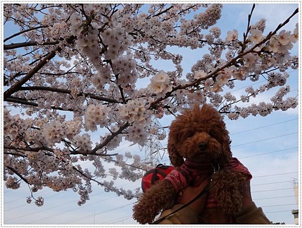 ♪♪さくら♪♪とお花見_b0175688_21583079.jpg