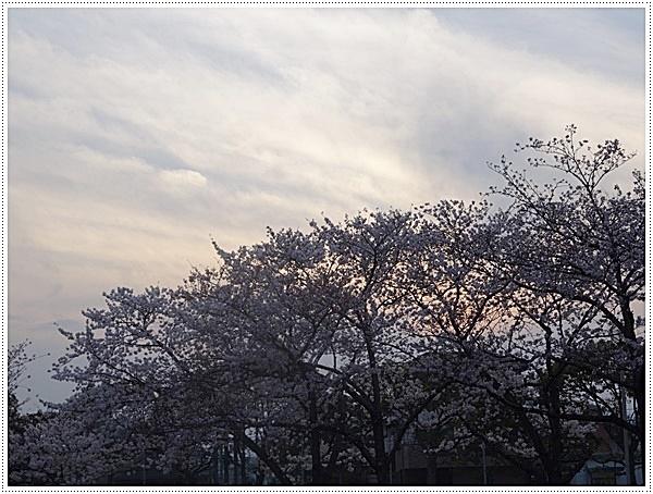 ♪♪さくら♪♪とお花見_b0175688_2202239.jpg