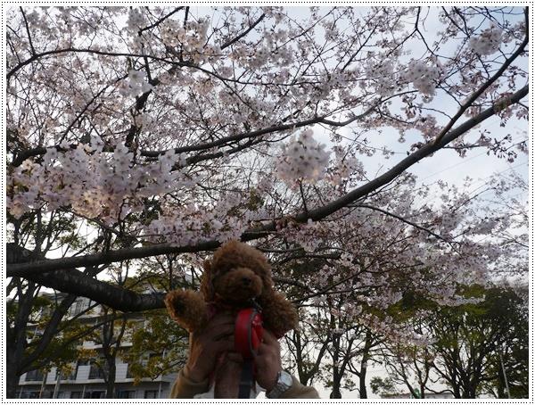 ♪♪さくら♪♪とお花見_b0175688_220868.jpg