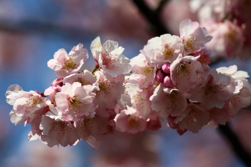 上野公園の早咲き桜_a0127090_16422370.jpg
