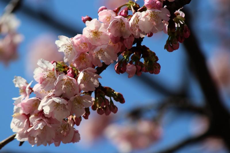 上野公園の早咲き桜_a0127090_16423198.jpg