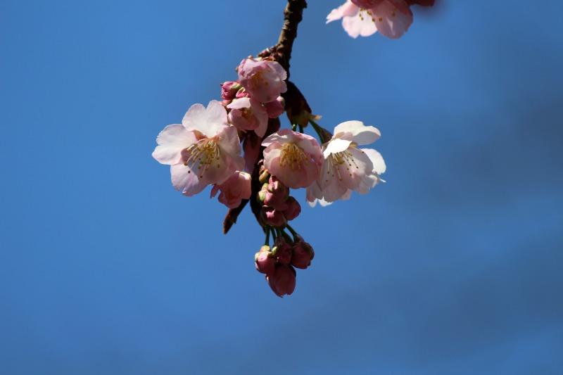 上野公園の早咲き桜_a0127090_1642798.jpg