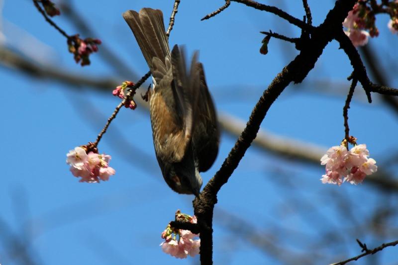上野公園の早咲き桜_a0127090_16431586.jpg