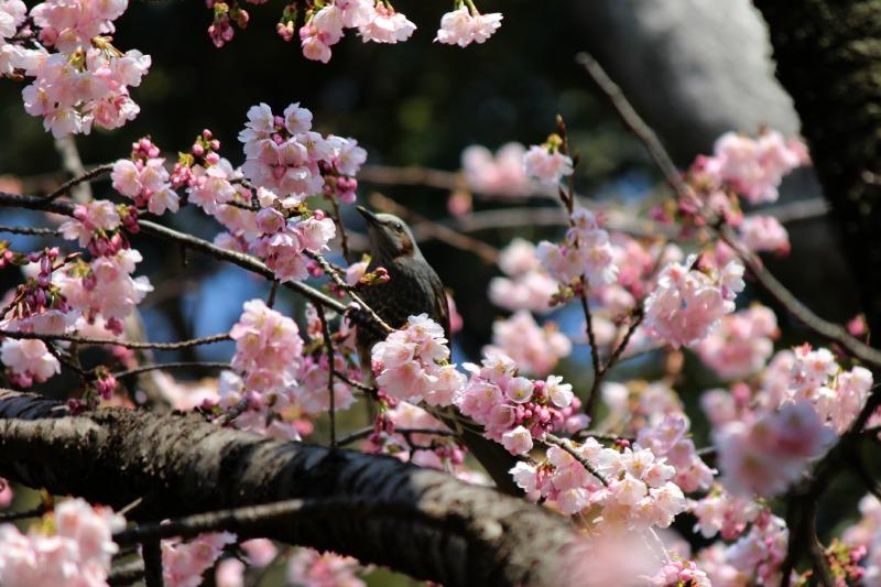 上野公園の早咲き桜_a0127090_1643848.jpg
