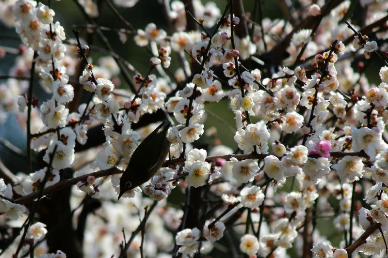 上野公園の早咲き桜_a0127090_16441866.jpg