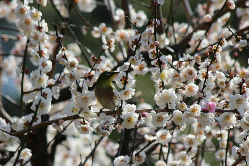 上野公園の早咲き桜_a0127090_16451011.jpg