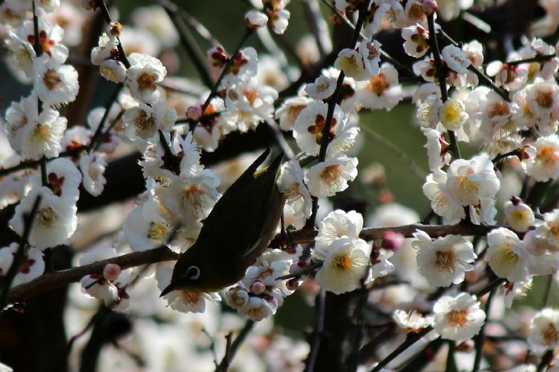 上野公園の早咲き桜_a0127090_1645487.jpg