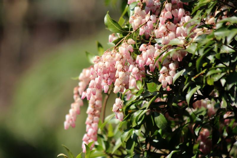 上野公園の早咲き桜_a0127090_16463742.jpg