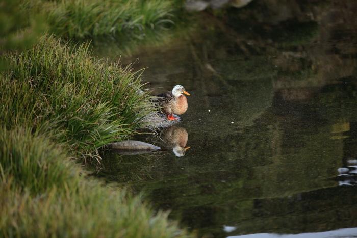 水前寺成趣園内の鴨と鯉_e0135098_846399.jpg