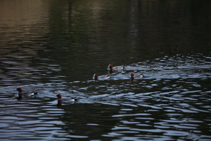 水前寺成趣園内の鴨と鯉_e0135098_8465067.jpg