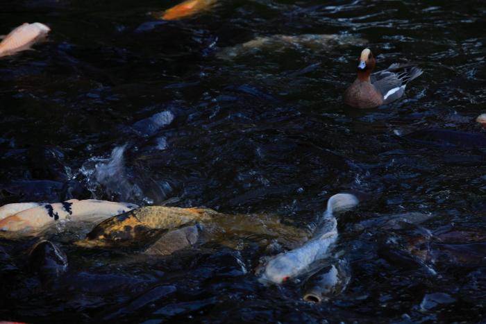 水前寺成趣園内の鴨と鯉_e0135098_847114.jpg
