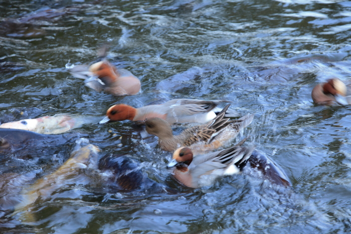 水前寺成趣園内の鴨と鯉_e0135098_847265.jpg